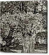 The Swinging Tree Sepia Canvas Print