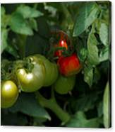 The Tomato Plant Canvas Print