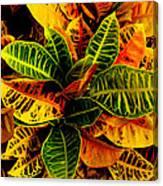 The Tropical Croton Canvas Print