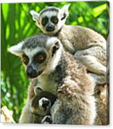 The Twins - Ring-tailed Lemurs Canvas Print
