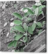 The Untouchable Plant Canvas Print