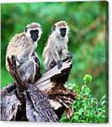 The Vervet Monkey. Lake Manyara. Tanzania. Africa Canvas Print