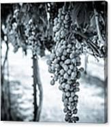 The Vineyard   Bw Canvas Print