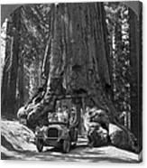 The Wawona Giant Sequoia Tree Canvas Print