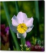 The White And Yellow Daffodil Canvas Print