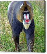 The World's Largest Species Of Monkey The Mandrill  Canvas Print