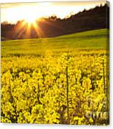 The Yellow Rapeseed Field Beautiful Canvas Print