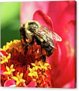 The Zinnia And The Bee Canvas Print