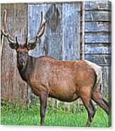 There's An Elk By The Barn Canvas Print