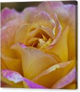There's Nothing Like The Beauty Of A Rose  Canvas Print