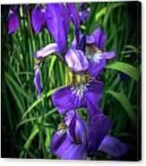 Colors Of Iris Canvas Print