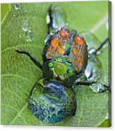 Thirsty Beetle Canvas Print