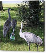 Thirsty Cranes Canvas Print