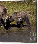 Thirsty Grizzlies  #3418 Canvas Print