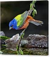 Thirsty Painted Bunting Canvas Print