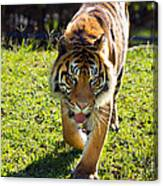 Thirsty Tiger Canvas Print