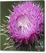 Thistle And The Bee Canvas Print