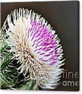 Thistle Bloom Canvas Print