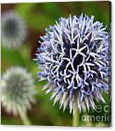 Thistle Bloom Canvas Print