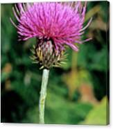 Thistle (carduus Carlinaefolius) Canvas Print
