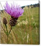 Thistle In A Swiss Field Canvas Print