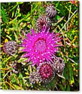 Thistle In Saint Mary's Ecological Reserve-newfoundland Canvas Print