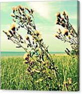 Thistle On The Beach  Canvas Print