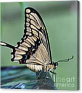 Thoas Swallowtail Butterfly Canvas Print