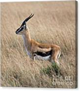 Thompson's Gazelle Canvas Print
