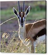Thomson's Gazelle (gazella Thomsoni Canvas Print
