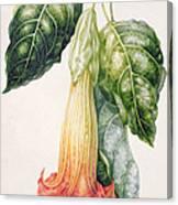 Thorn Apple Flower From Ecuador Datura Rosei Canvas Print