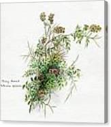 Thorny Burnet C1950 Canvas Print