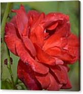 Thorny Red Rose Canvas Print
