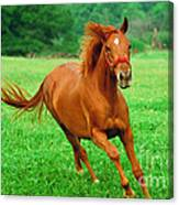 Thoroughbred Filly Canvas Print