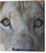 Those Lion Eyes Canvas Print