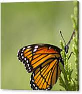 Those Magnificent Monarchs - Danaus Plexippus Canvas Print