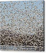 Thousands Of Snow Geese Canvas Print