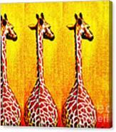Three Amigos Giraffes Looking Back Canvas Print