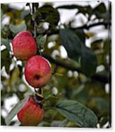 Three Apples Canvas Print