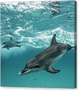 Three Atlantic Spotted Dolphins Canvas Print