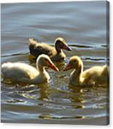Three Baby Ducks Swimming Canvas Print
