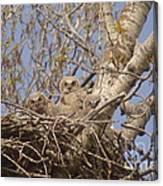 Three Baby Owls  Canvas Print