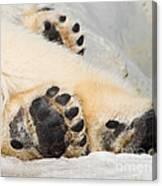 Three Bear Paws Canvas Print