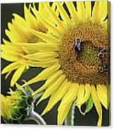 Three Bees On A Sunflower Canvas Print