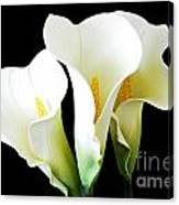 Three Calla Lilies On Black Canvas Print