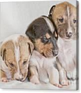 Three Collie Puppies Canvas Print