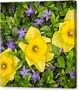 Three Daffodils In Blooming Periwinkle Canvas Print
