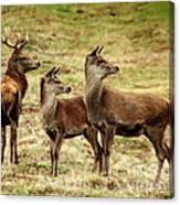 Wildlife Three Red Deer Canvas Print