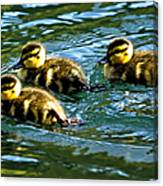 Three Ducklings Canvas Print