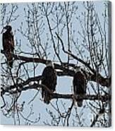 Three Eagles In Tree Canvas Print